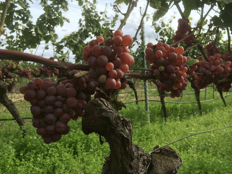 rode, rijpe druiven van de Weingut Lukas Kesselring