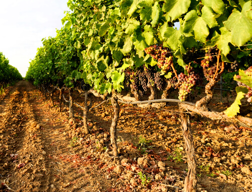 Weinreben mit jungen Trauben in Apulien